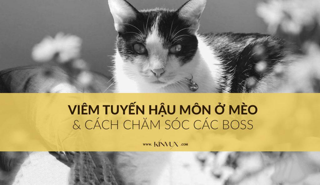Viêm tuyến hậu môn ở mèo / trĩ ở mèo
